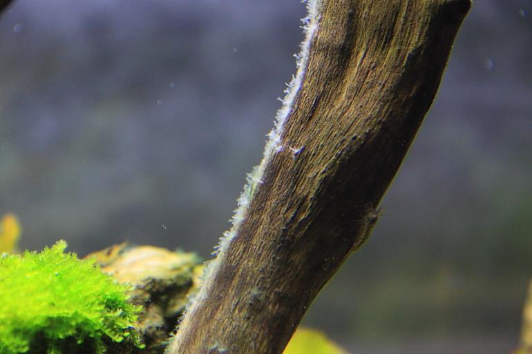 白化的鹿角藻