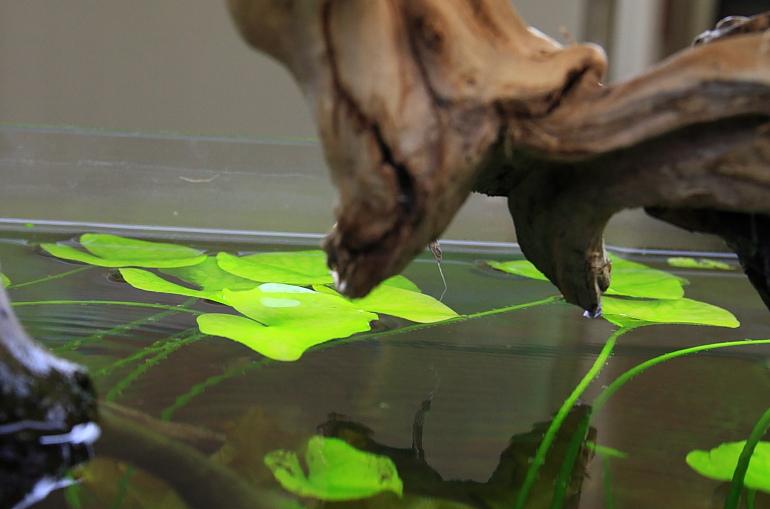 大香菇草頂水1