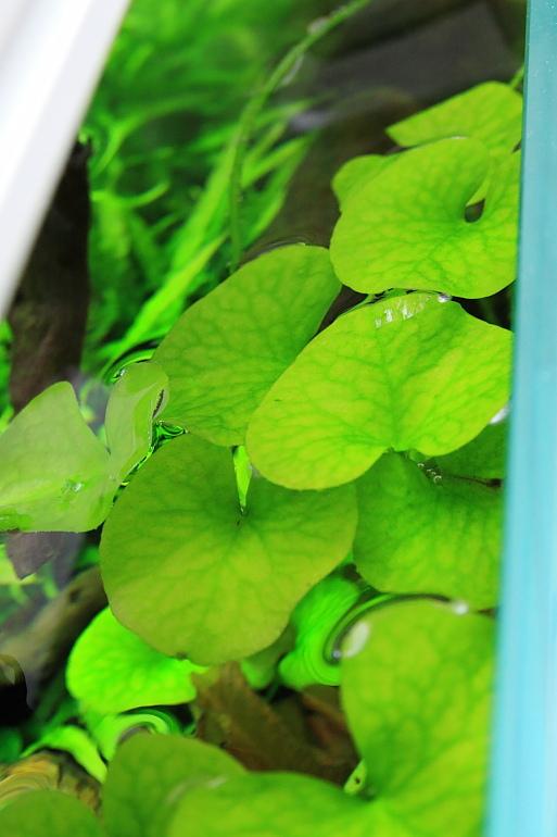 大香菇草頂水2