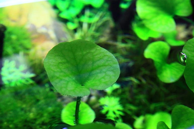 大香菇草頂水3
