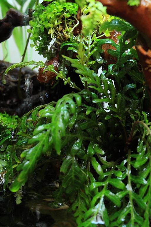 聖甲蟲水上葉