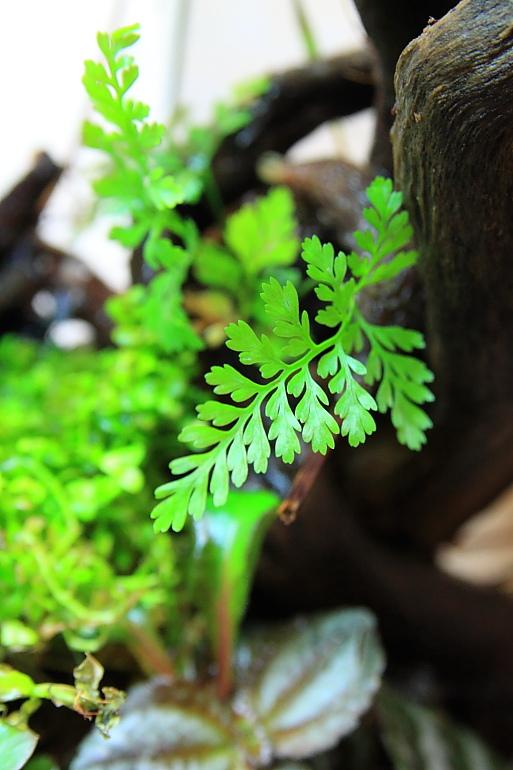 兔腳蕨新葉