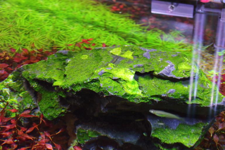 逐漸退去綠塵藻
