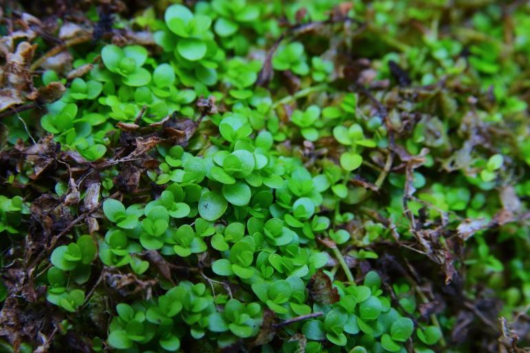 新大珍珠草水上葉