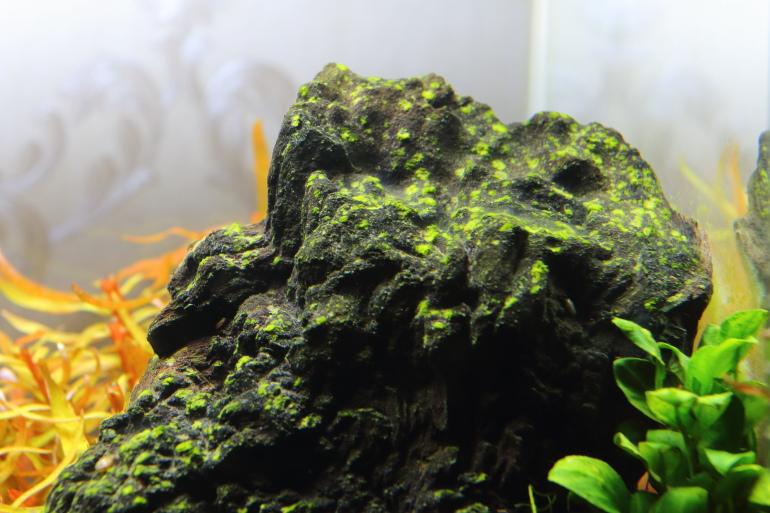 縮圖-綠斑藻1