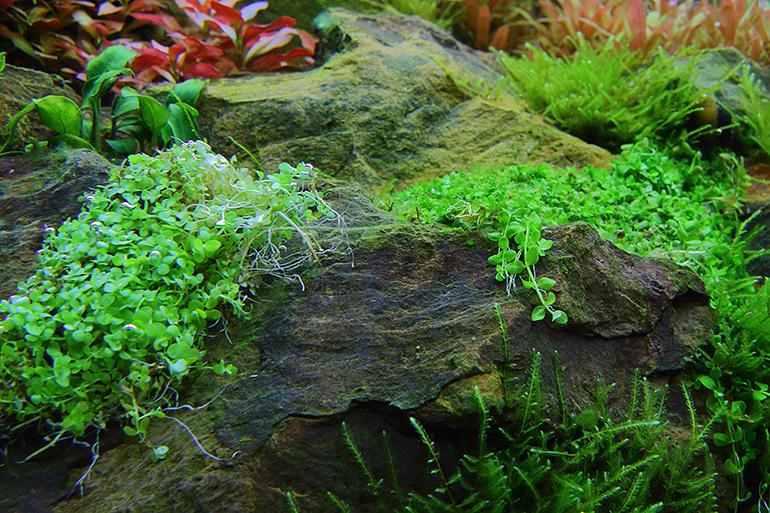縮圖-水上葉與水中葉