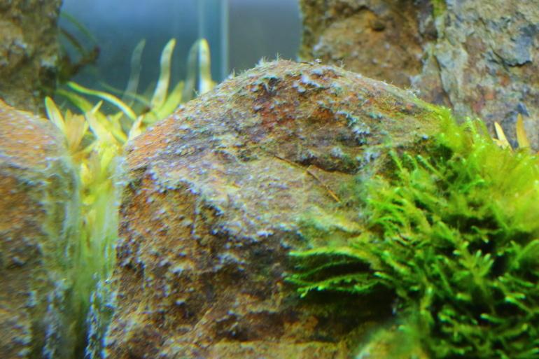 縮圖白化鹿角藻