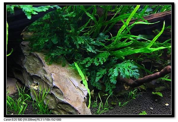 陰影下的黑木蕨.JPG