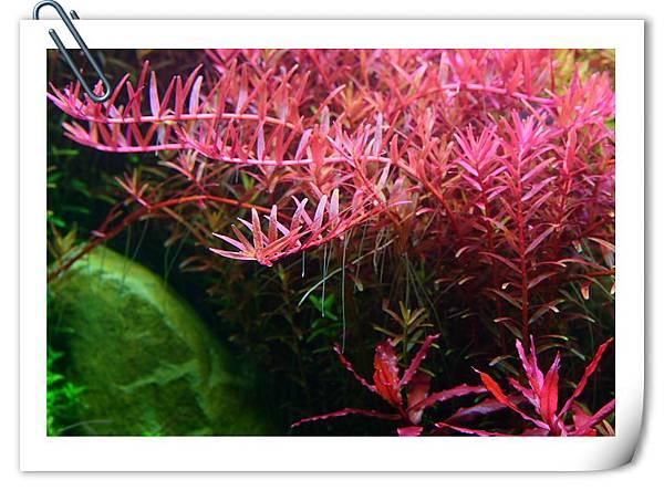 密植的水草1.JPG