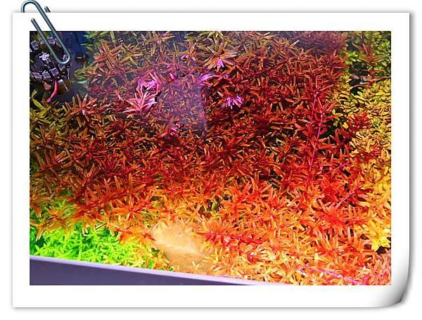 密植的水草2.JPG