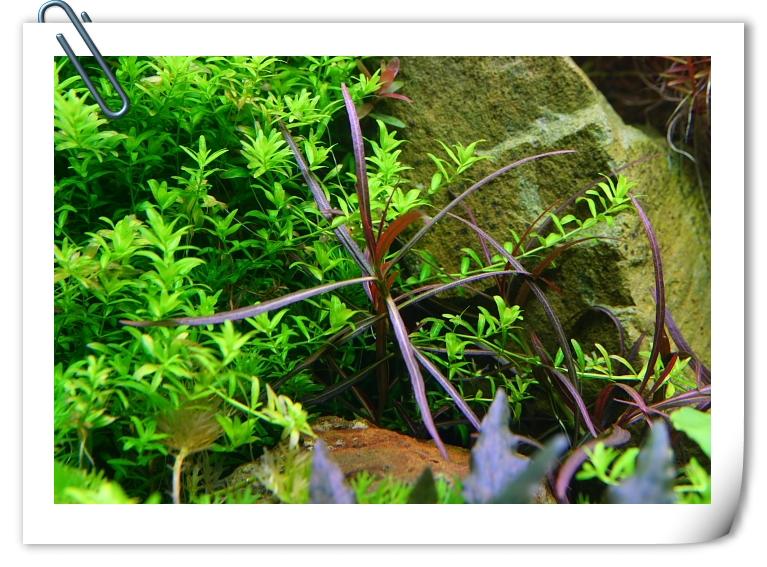 紫紅針葉柳.JPG
