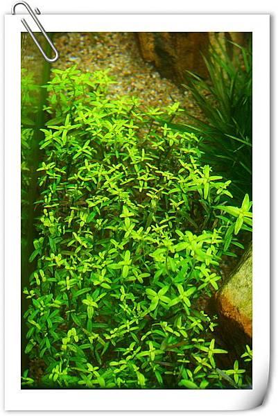 綠色的小圓葉.JPG