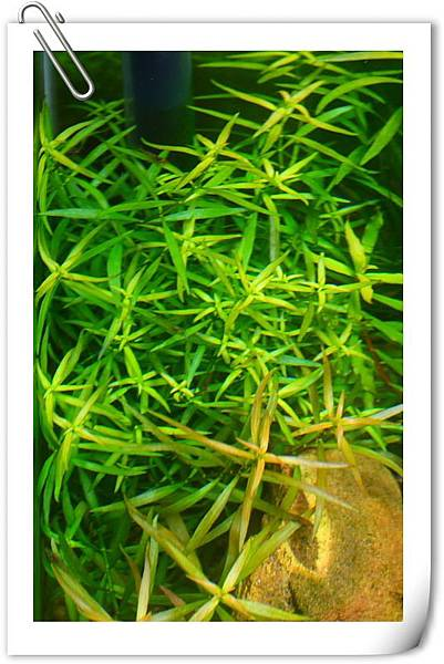 變綠色的水草.JPG