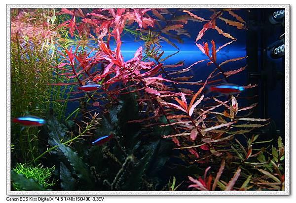 頂水的小紅葉.JPG