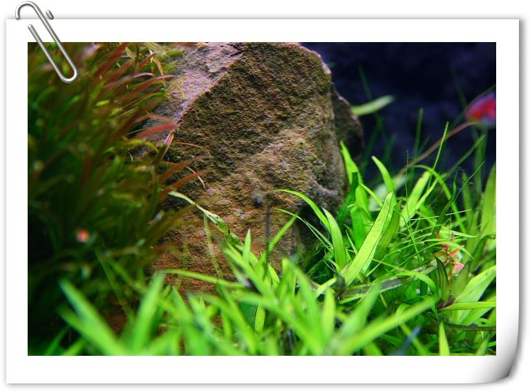石頭上仍有黑毛藻.JPG
