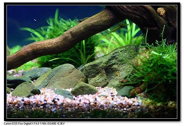 石頭上的綠藻.JPG