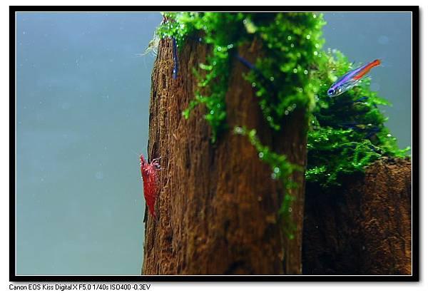 玫瑰蝦.JPG