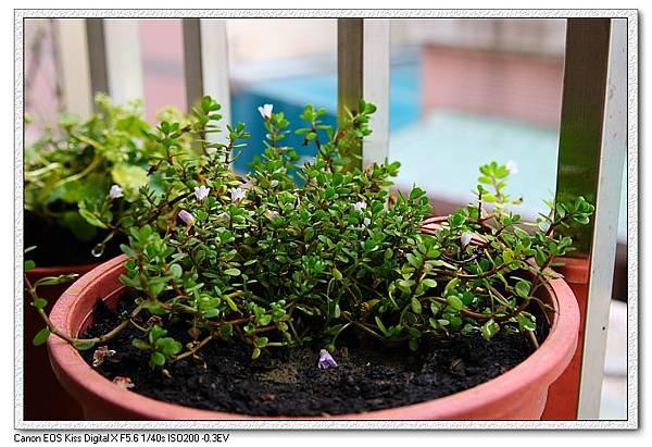 盆栽中的小對葉.JPG
