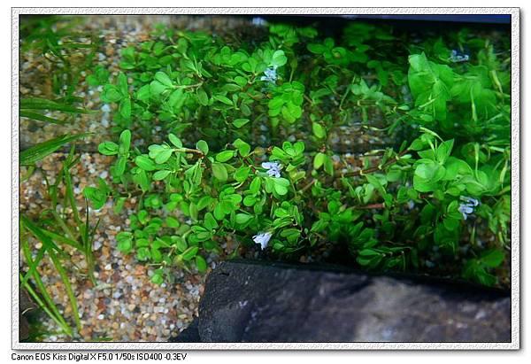 後景的水上葉-1.JPG