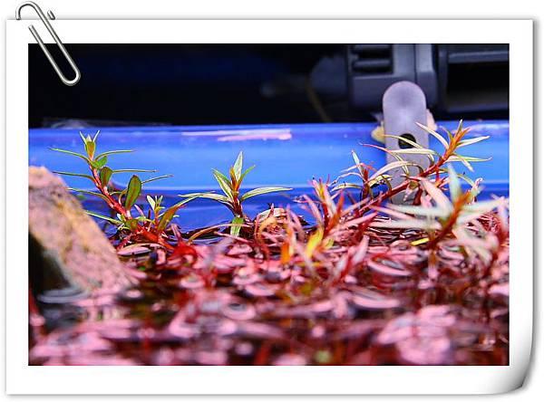 小紅莓水上葉.JPG
