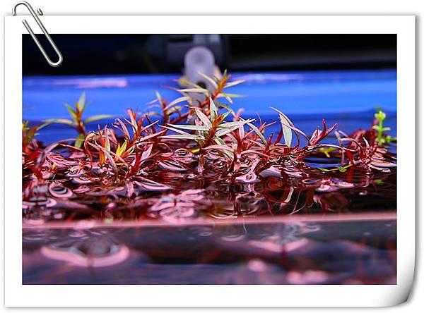 小紅莓水上葉2.JPG