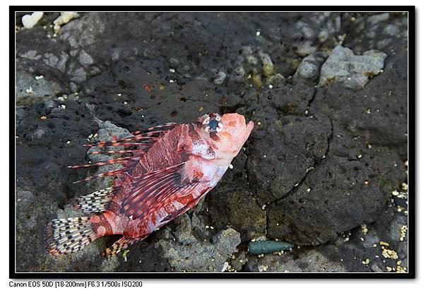 凍死的魚-1.JPG