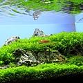 中景的珍珠草.jpg