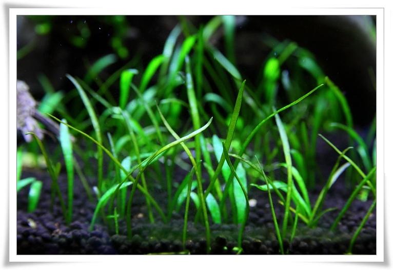 草皮水中葉.JPG