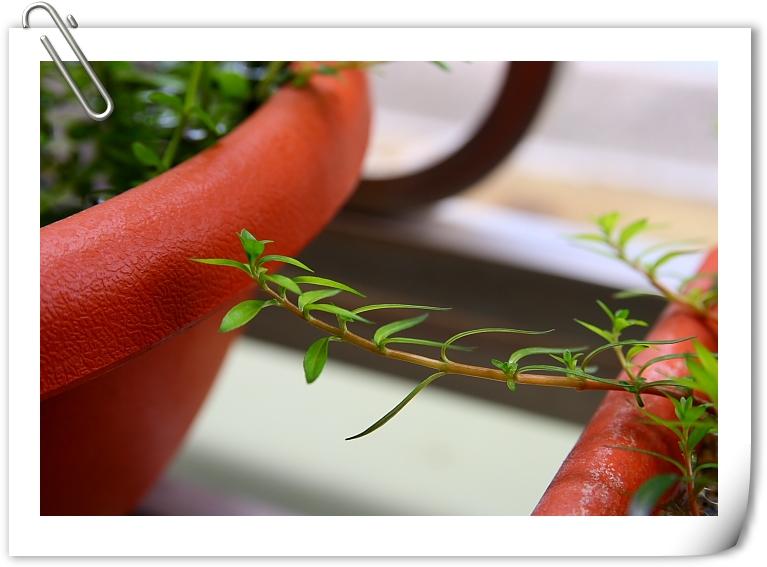 小紅莓水上葉1.JPG