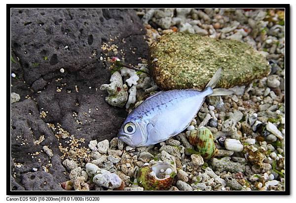 凍死的魚-3.JPG
