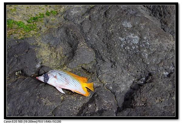 凍死的魚-2.JPG