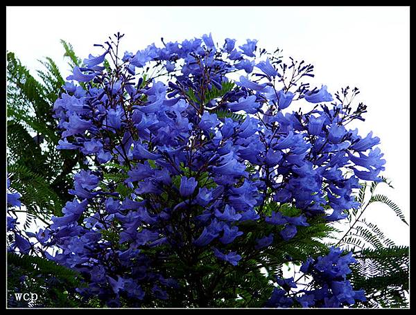 藍花楹6.jpg
