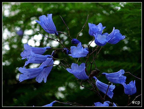藍花楹8.jpg