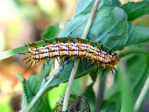 The Caterpillar.jpg