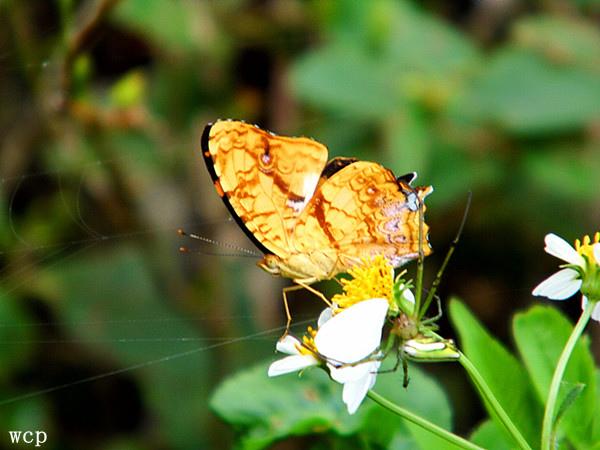 黃三線蝶.jpg