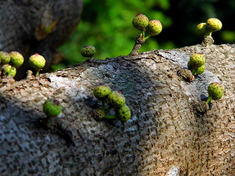Ficus wightiana Wall. ex Benth._1.jpg