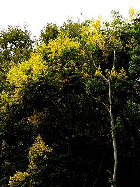 欒樹2.jpg