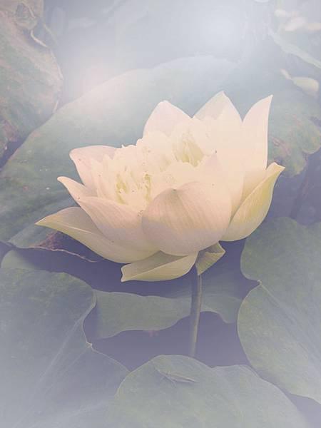 lotus-flower_1_1.jpg