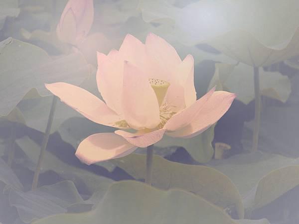 lotus-flower-4_2.jpg
