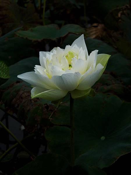 lotus-flower-2_2.jpg