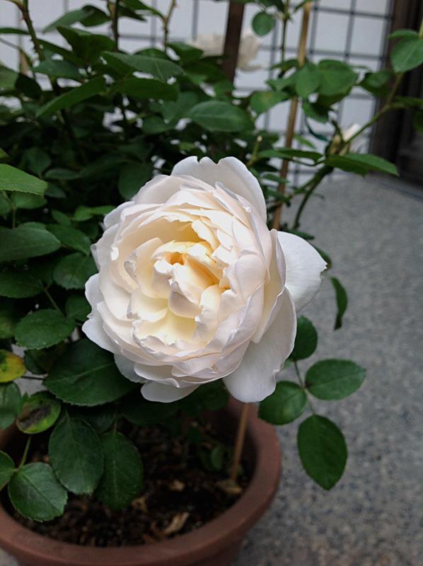 白玫瑰5.JPG