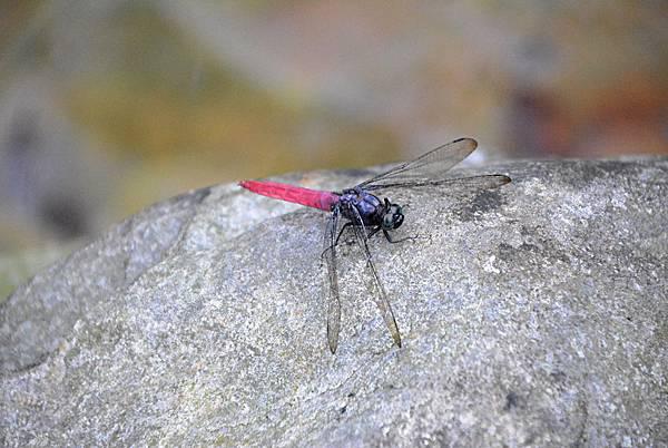 霜白蜻蜓(雄).jpg