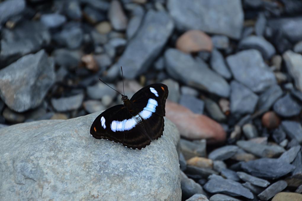 台灣單帶蛺蝶(雄)Athyma-selenophora-(M)_1.jpg