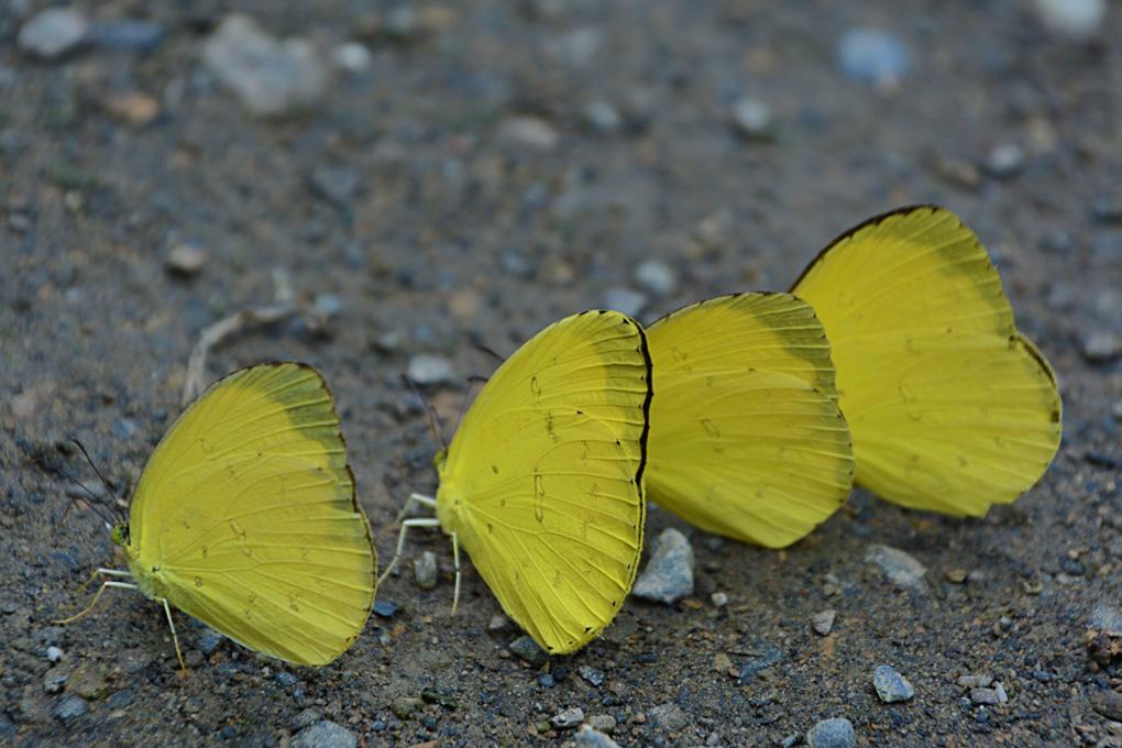 台灣黃蝶-Eurema-blanda-arsakia-(-Fruhstorfer,-1910)_1.jpg