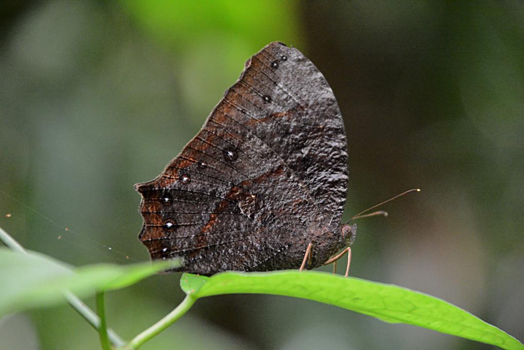 黑樹蔭蝶-Melanitis-phedima-polishana_1.jpg