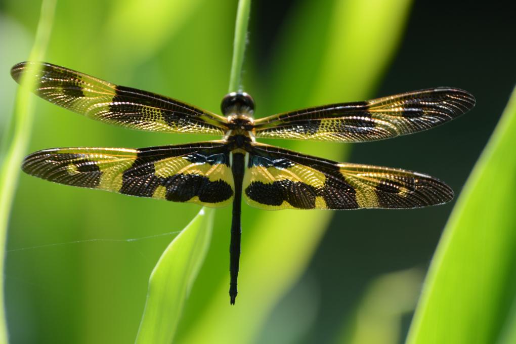 artland採裳蜻蜓_1.jpg