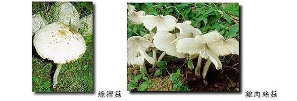 有毒的野菇別亂採!