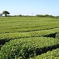 綠茶博物館外的綠茶田