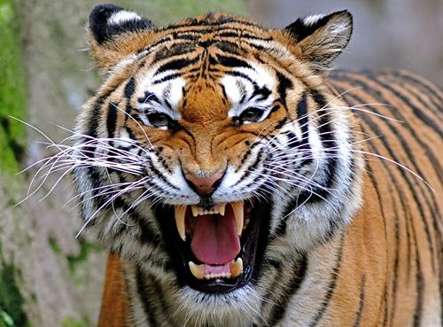 tiger-teeth2.jpg