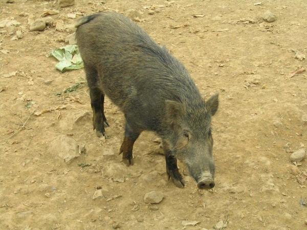 豬來就好.jpg